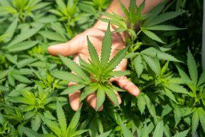 Wie Cloud-ERP-Systeme den Anbau von Cannabis unterstützen können